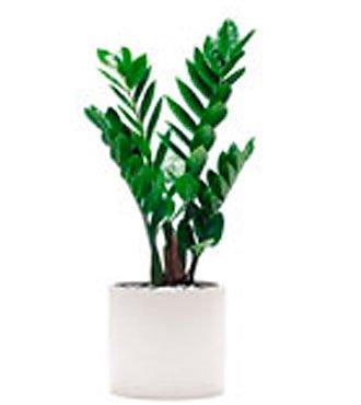 Single plant Zamioculcas