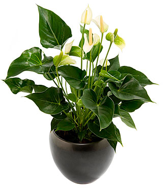 Flamingo flower plant, in