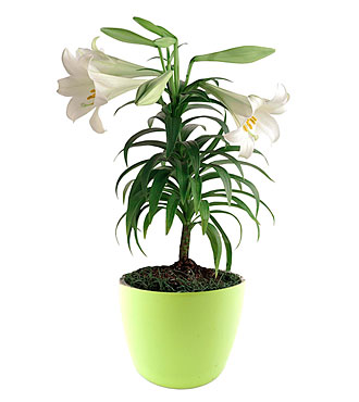 Indoor Plant - w/blossom