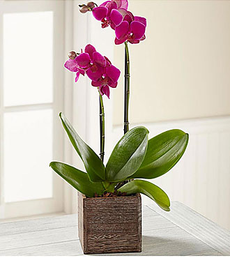 Fuchsia Phalaenopsis Orch