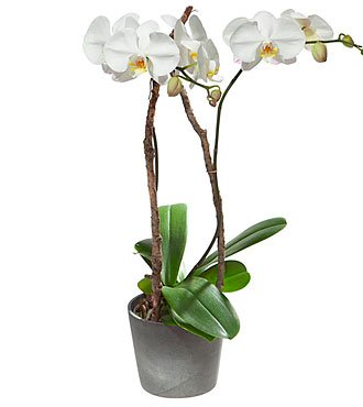 White Orchid in Cachepot