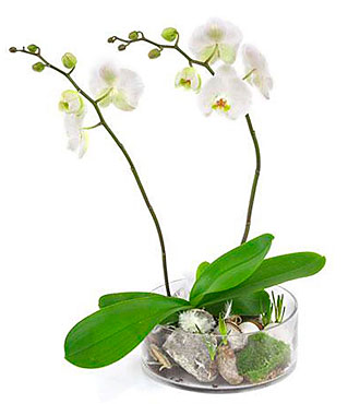 2-Stemmed Orchid in Glass