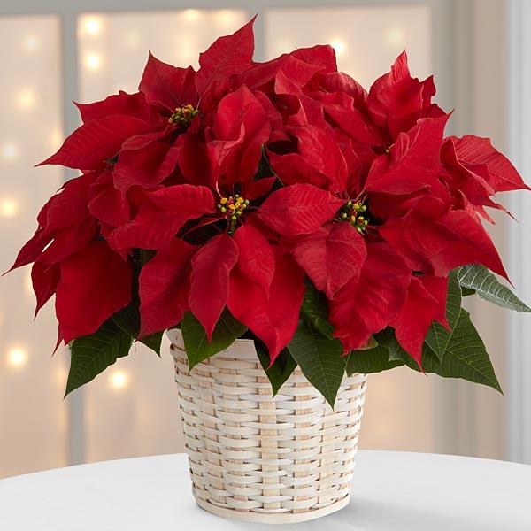 Red Poinsettia (Small)